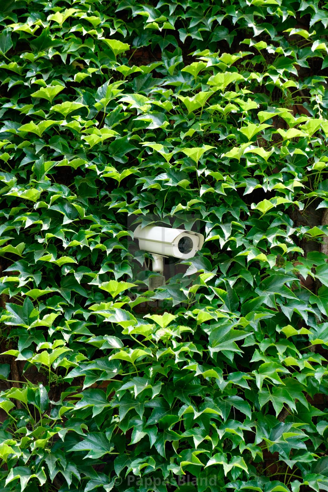 """""""A security camera hidden by ivy on a wall."""" stock image"""
