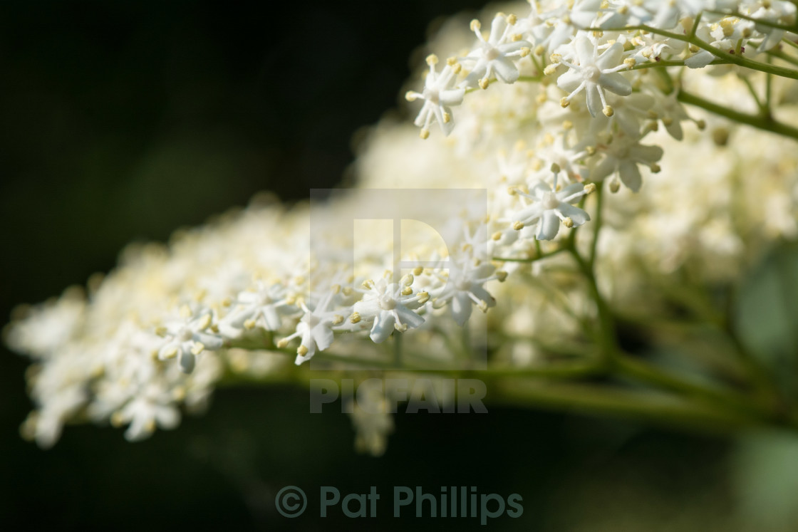 """Elder flowers"" stock image"