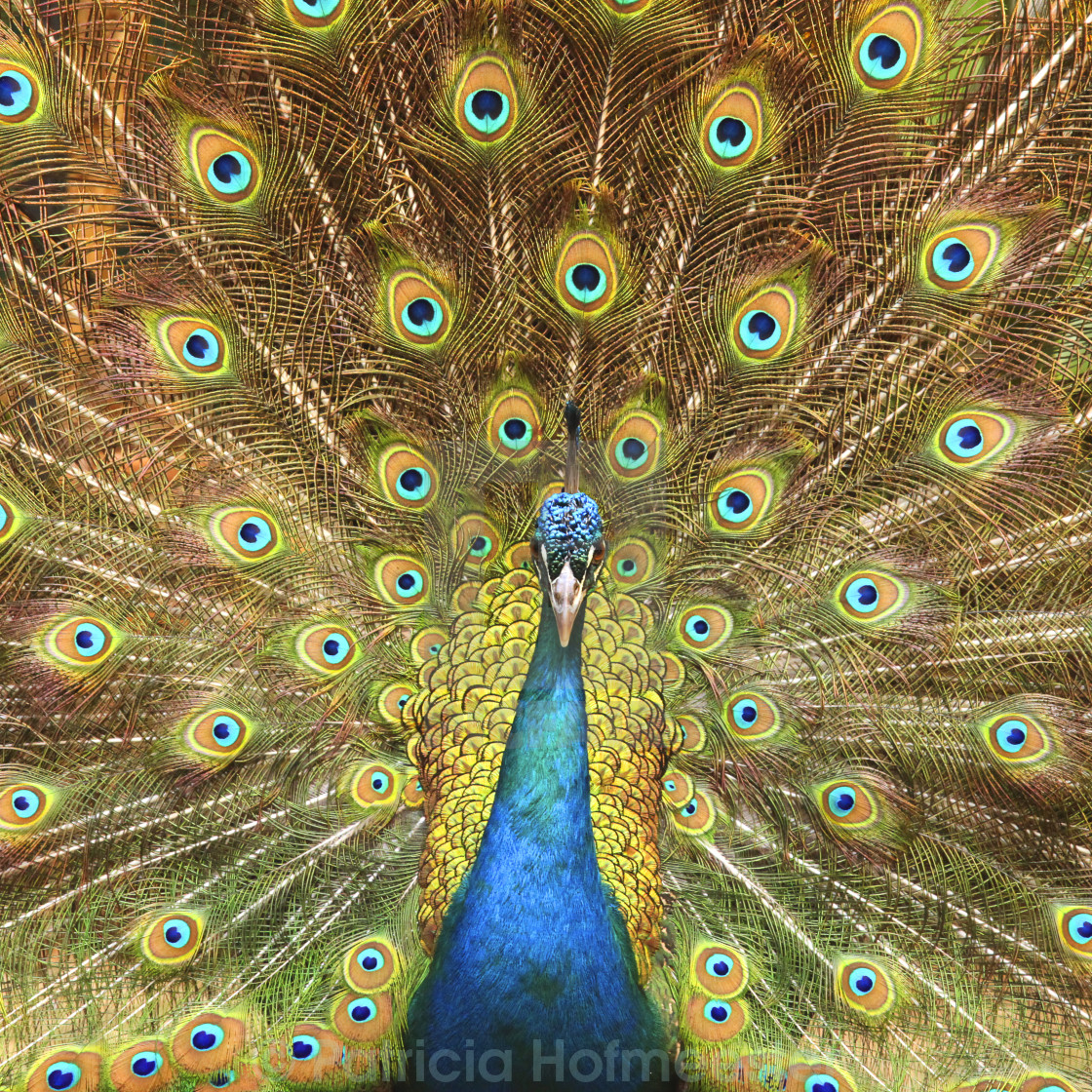 """Peacock showing its feathers XL"" stock image"