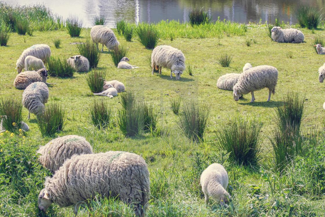 """Flock of sheep"" stock image"