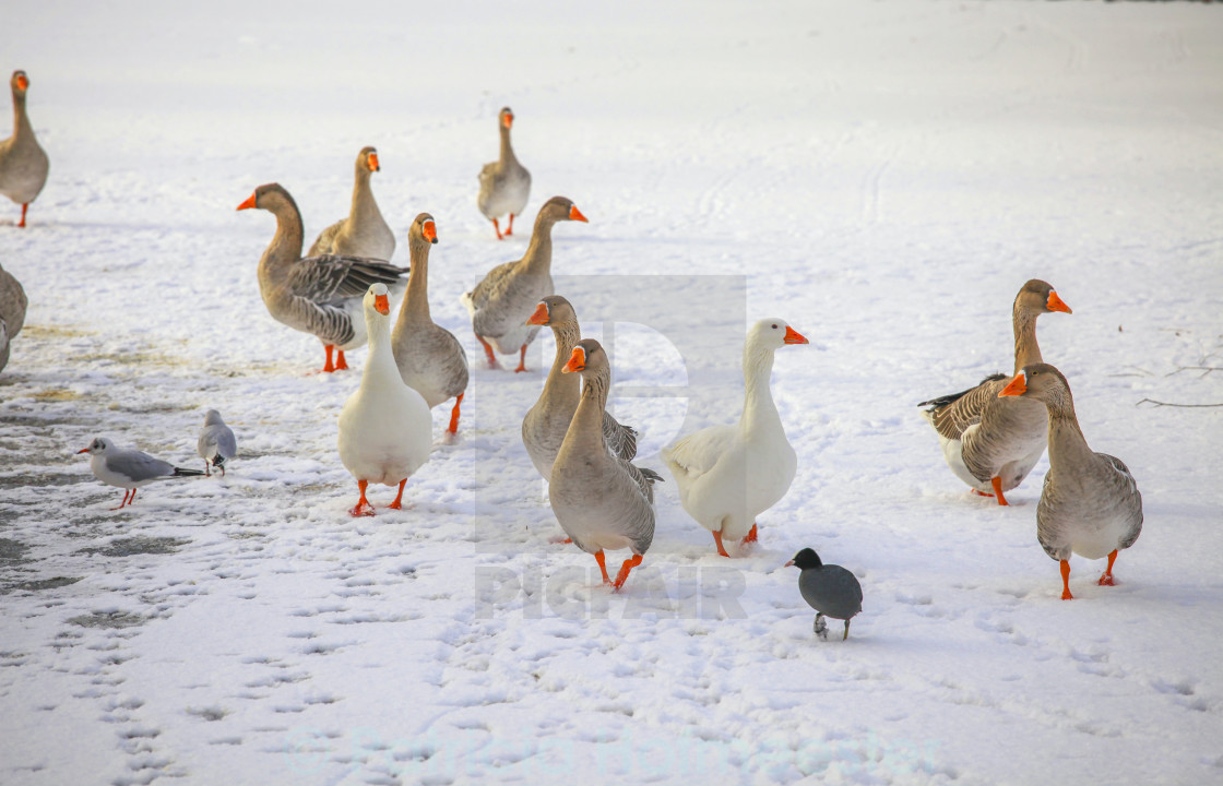 """Domestic goose on ice"" stock image"