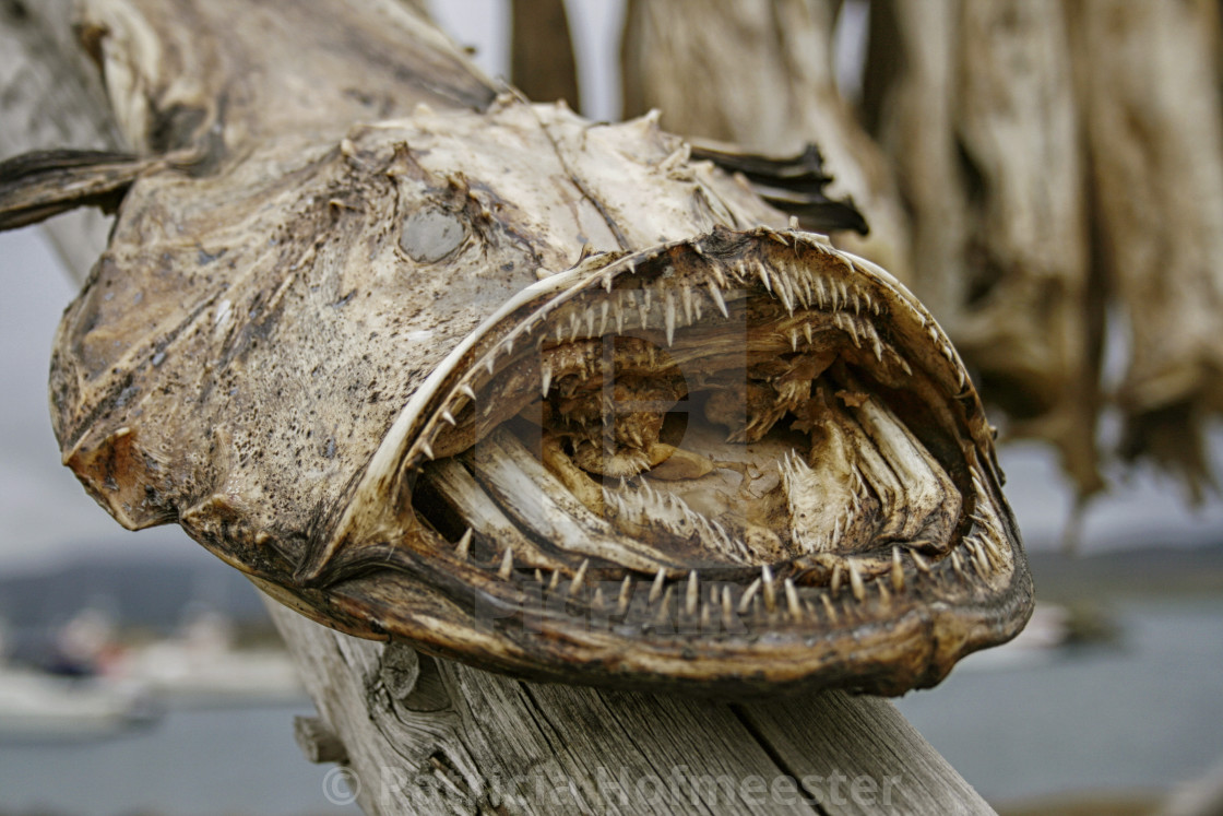 """dried monkfish"" stock image"