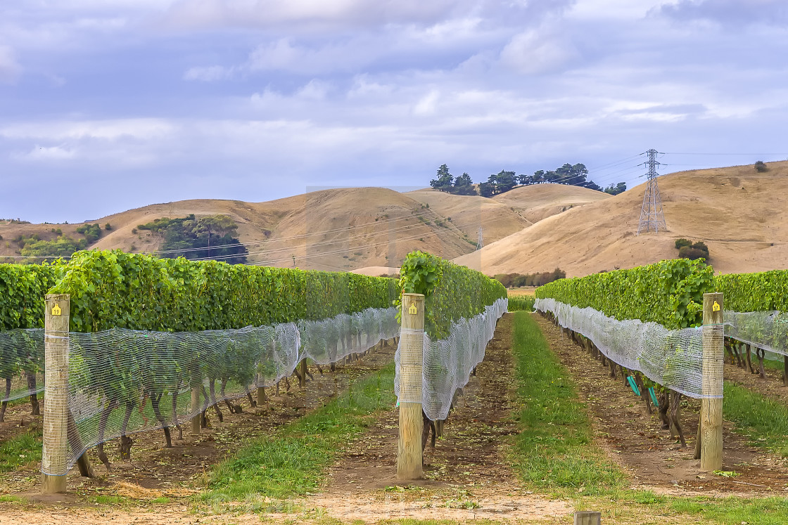 """Vineyard in Marlborough New Zealand"" stock image"
