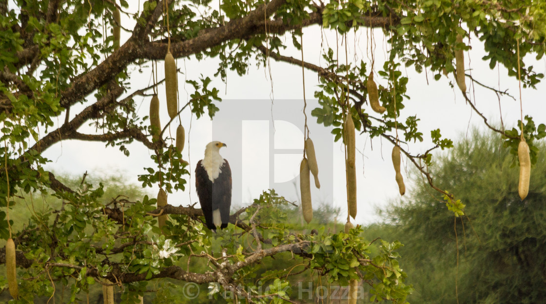"""African Fish Eagle on Sausage Tree"" stock image"