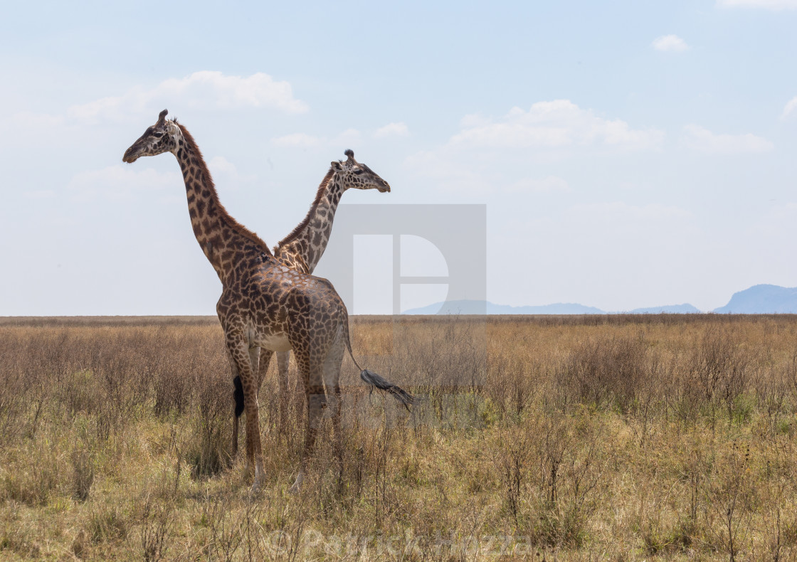 """Giraffe Crossing"" stock image"