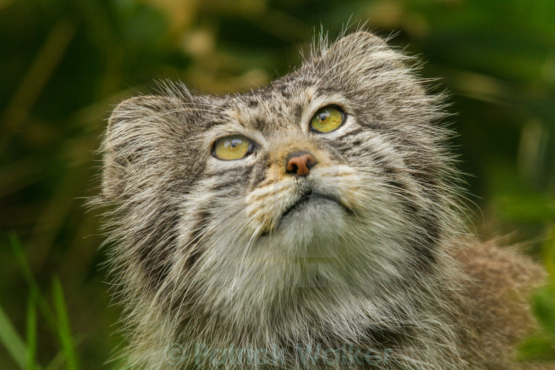 """Pallas Cat"" stock image"