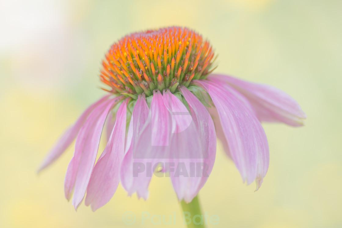 """Echinacea"" stock image"