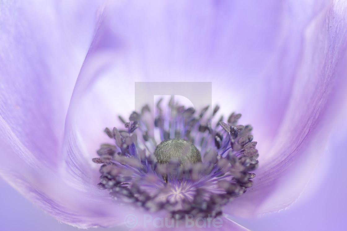 """Purple Poppy"" stock image"