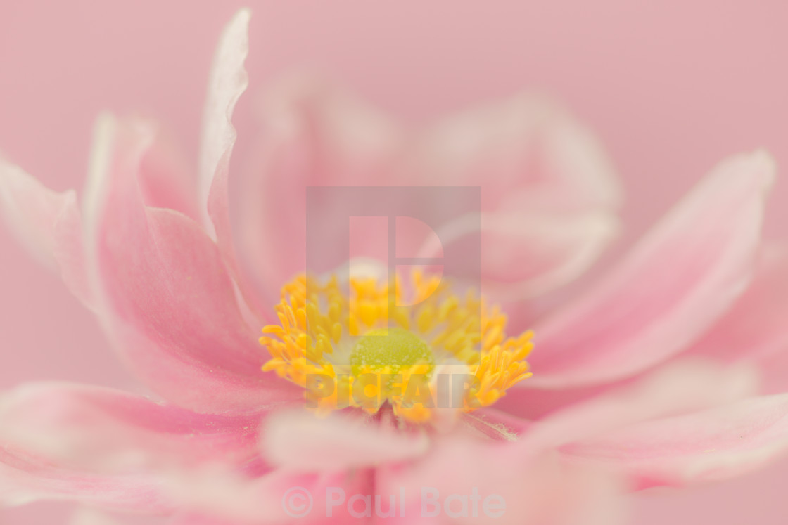 """""""Double Pink"""" stock image"""