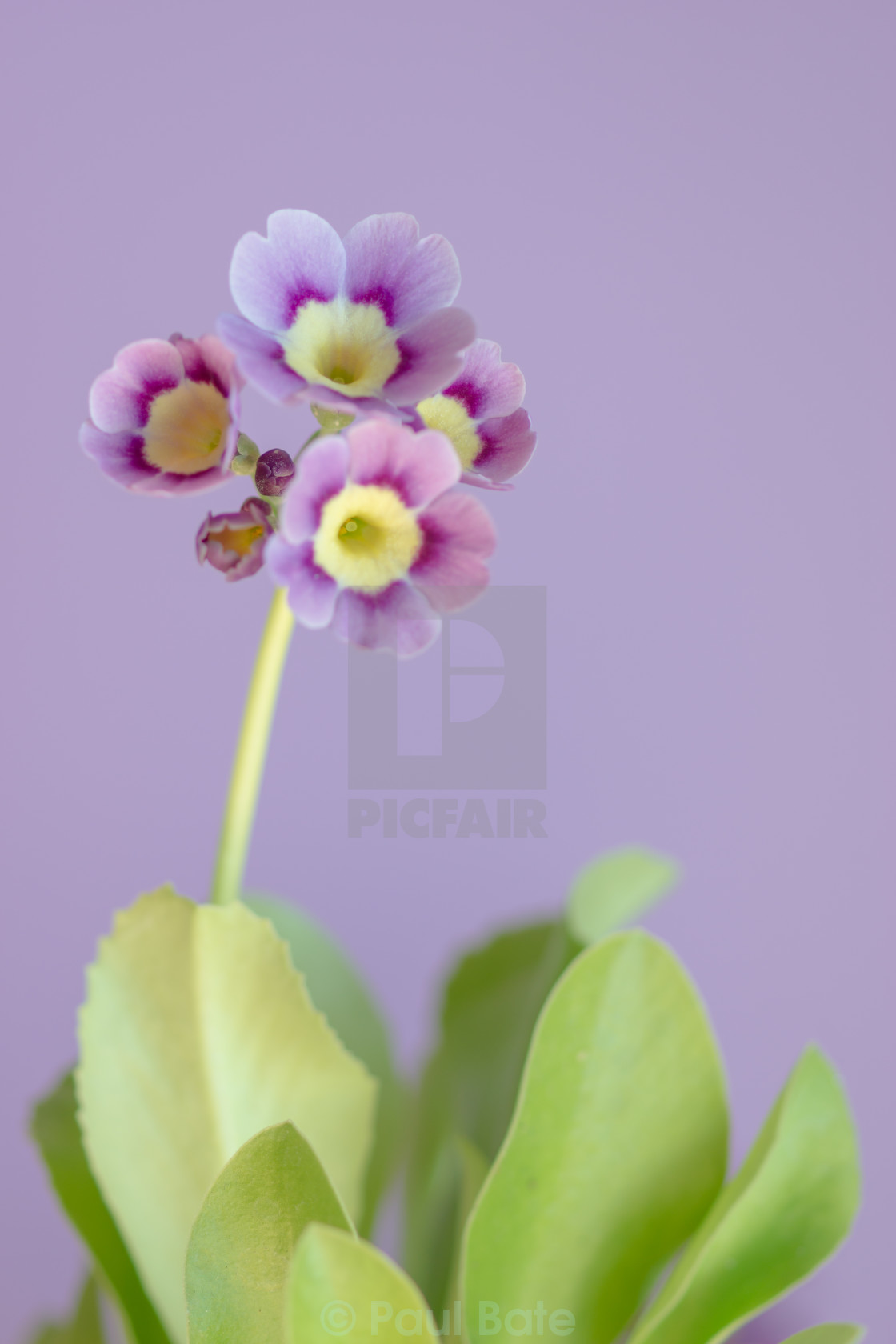"""Purple Primula"" stock image"