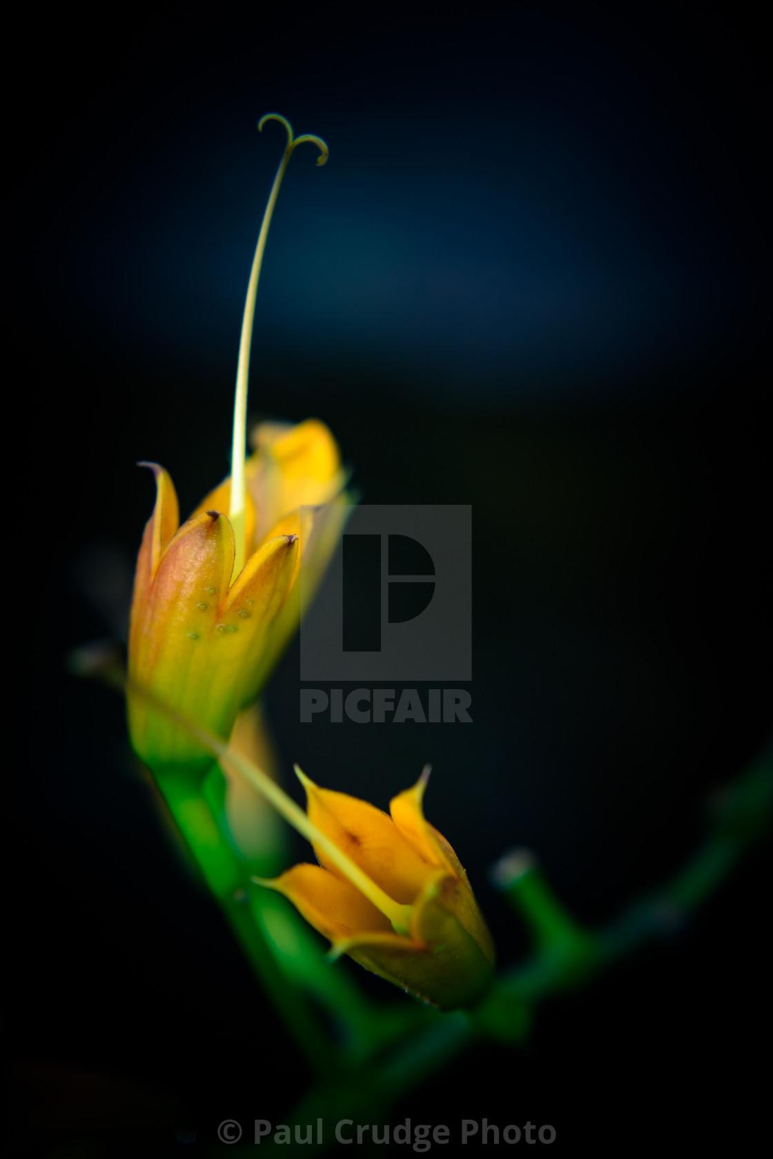 """Yellow Mellow"" stock image"