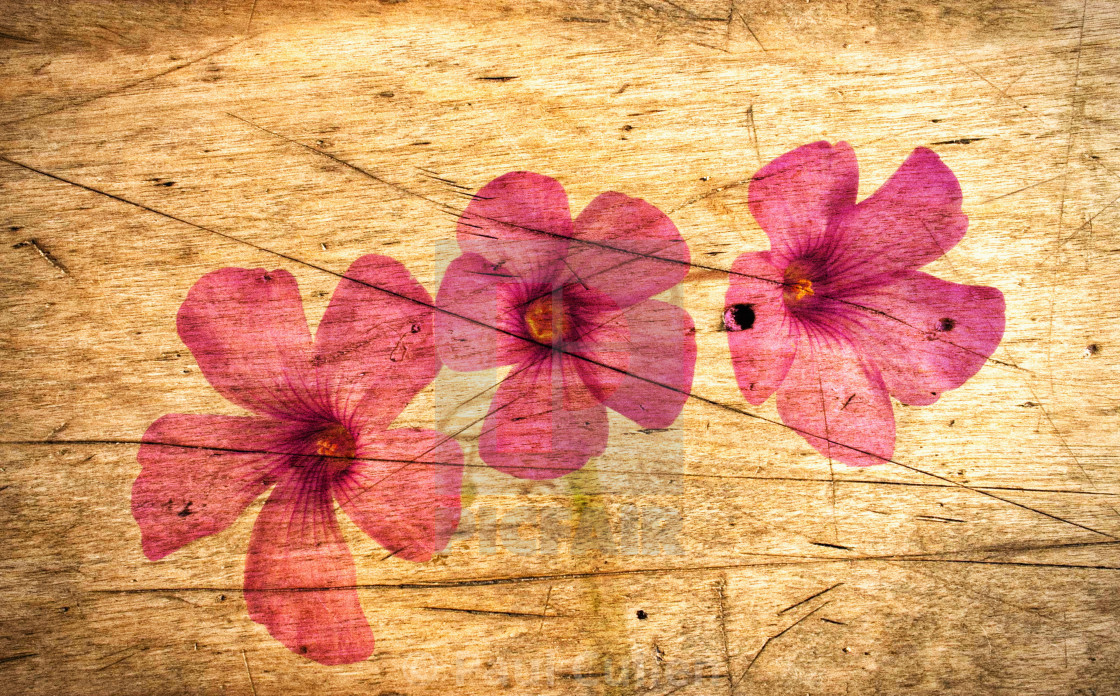 """Oxalis on a Scratched Wooden Surface."" stock image"
