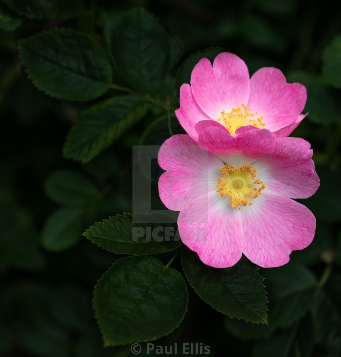"""Pink flowers"" stock image"