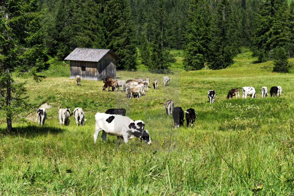"""Alpine Cattle 4"" stock image"