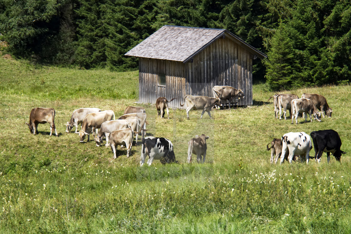 """Alpine Cattle 1"" stock image"