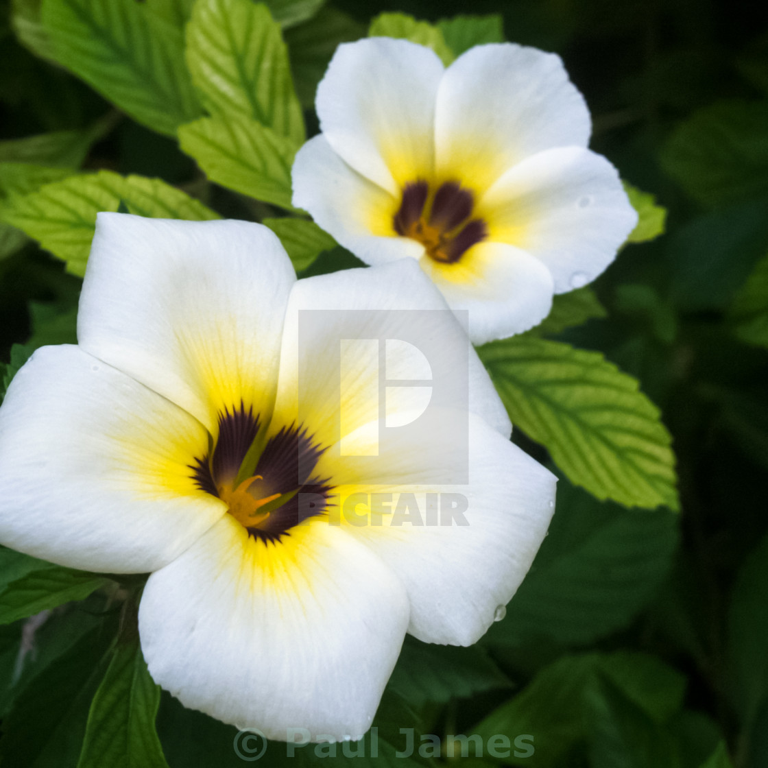 White Tropical Fragrant Flowers License For 3100 On Picfair