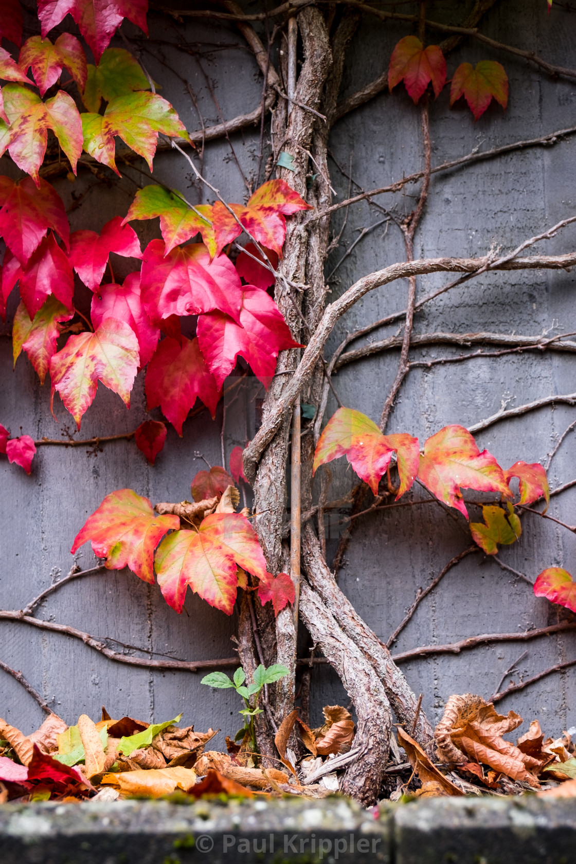 """Autumn leaves in front of concrete wall"" stock image"