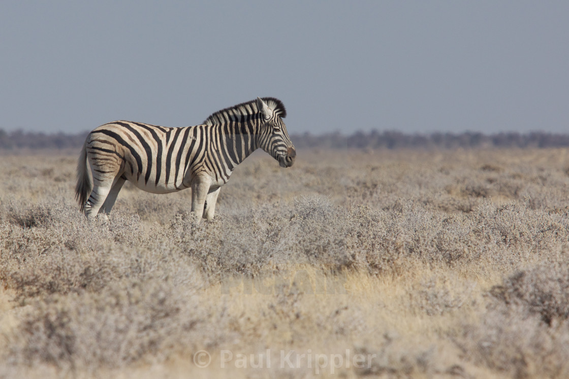 """Lonely zebra"" stock image"