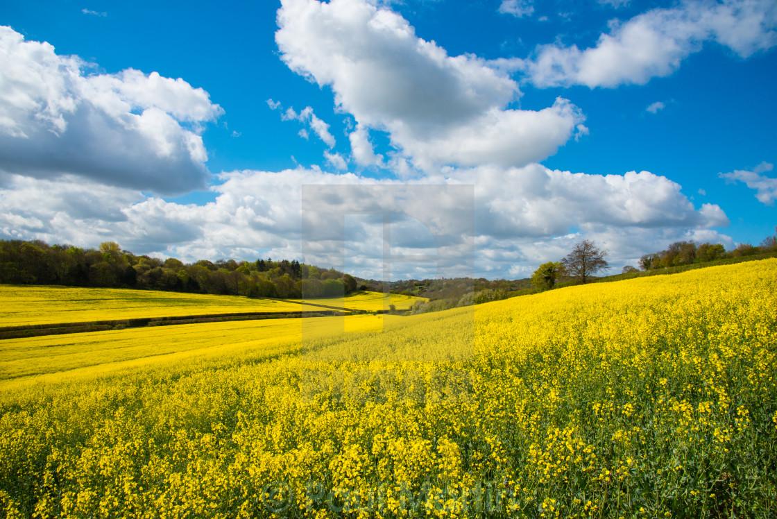 """Yellow fields"" stock image"