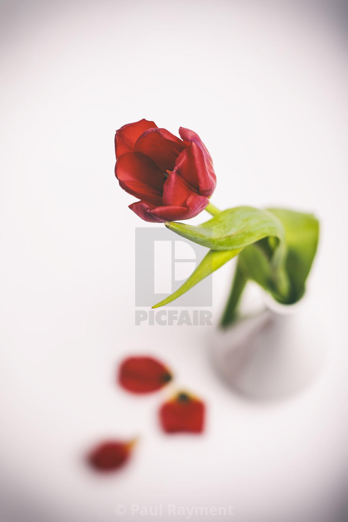 """Tulip in a Vase with Fallen Petals"" stock image"