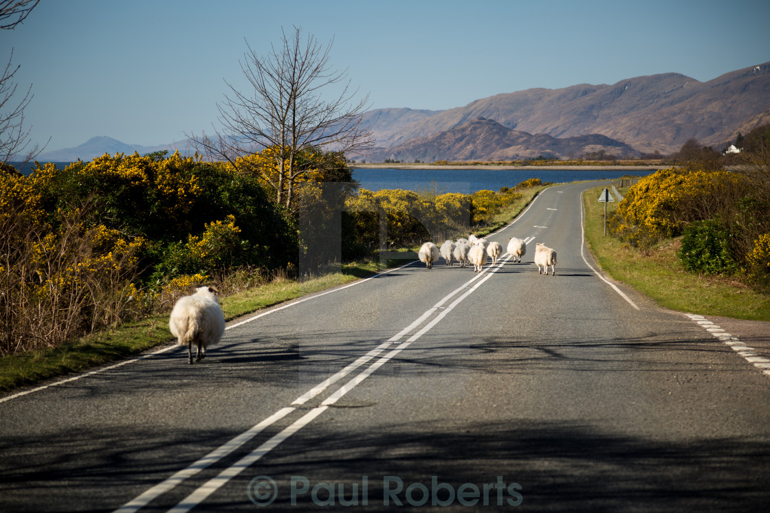 """Jaywalking Sheep"" stock image"
