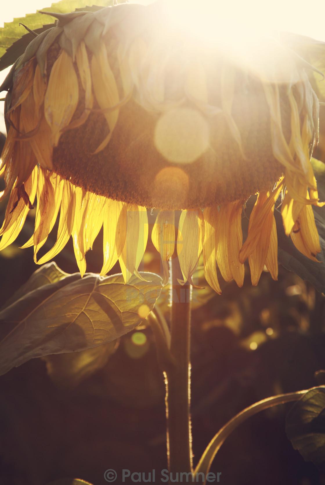 """Sunflower flare"" stock image"
