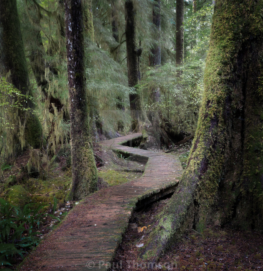 """Boardwalk Through the Old Growth"" stock image"