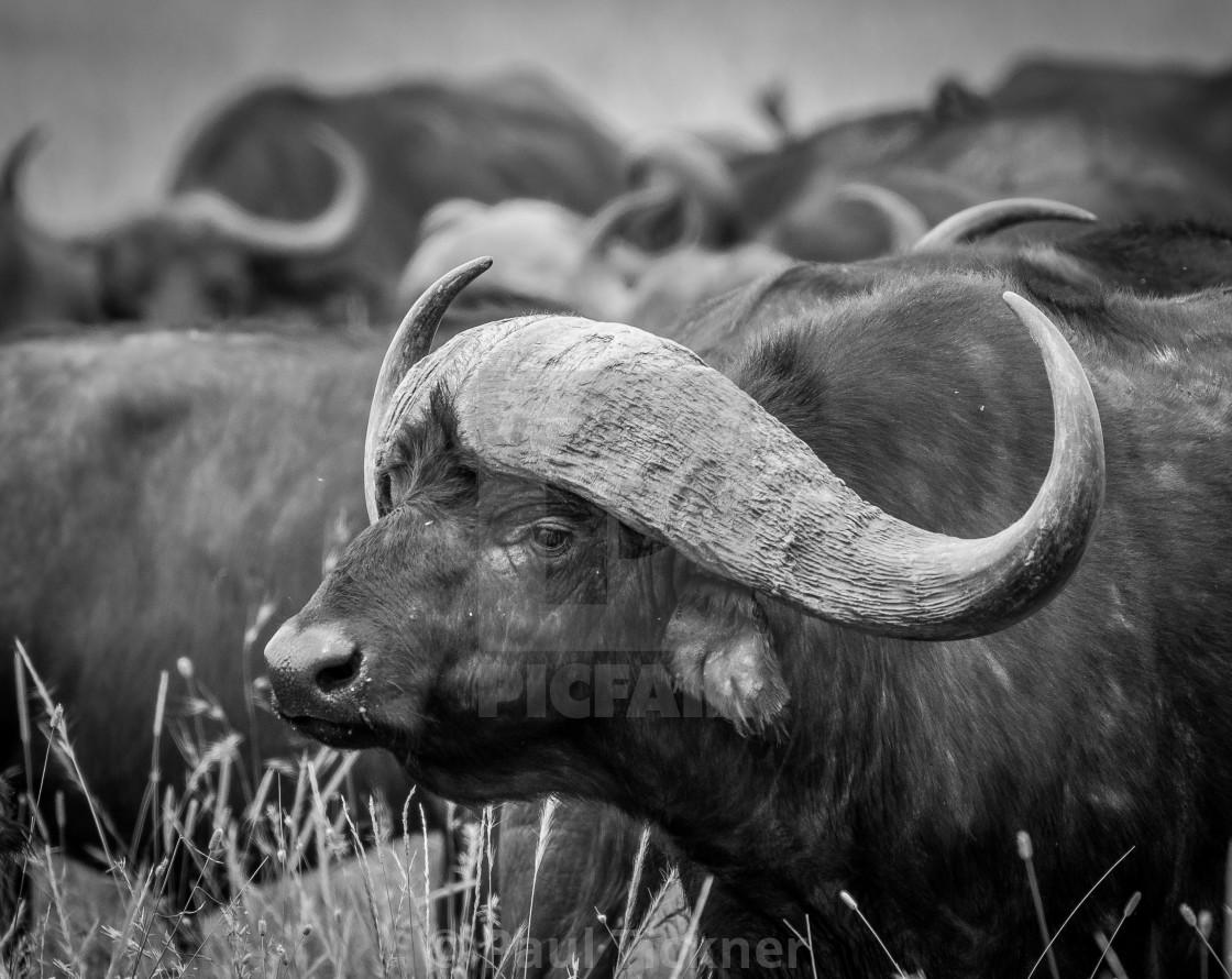 """""""Buffalo boss"""" stock image"""