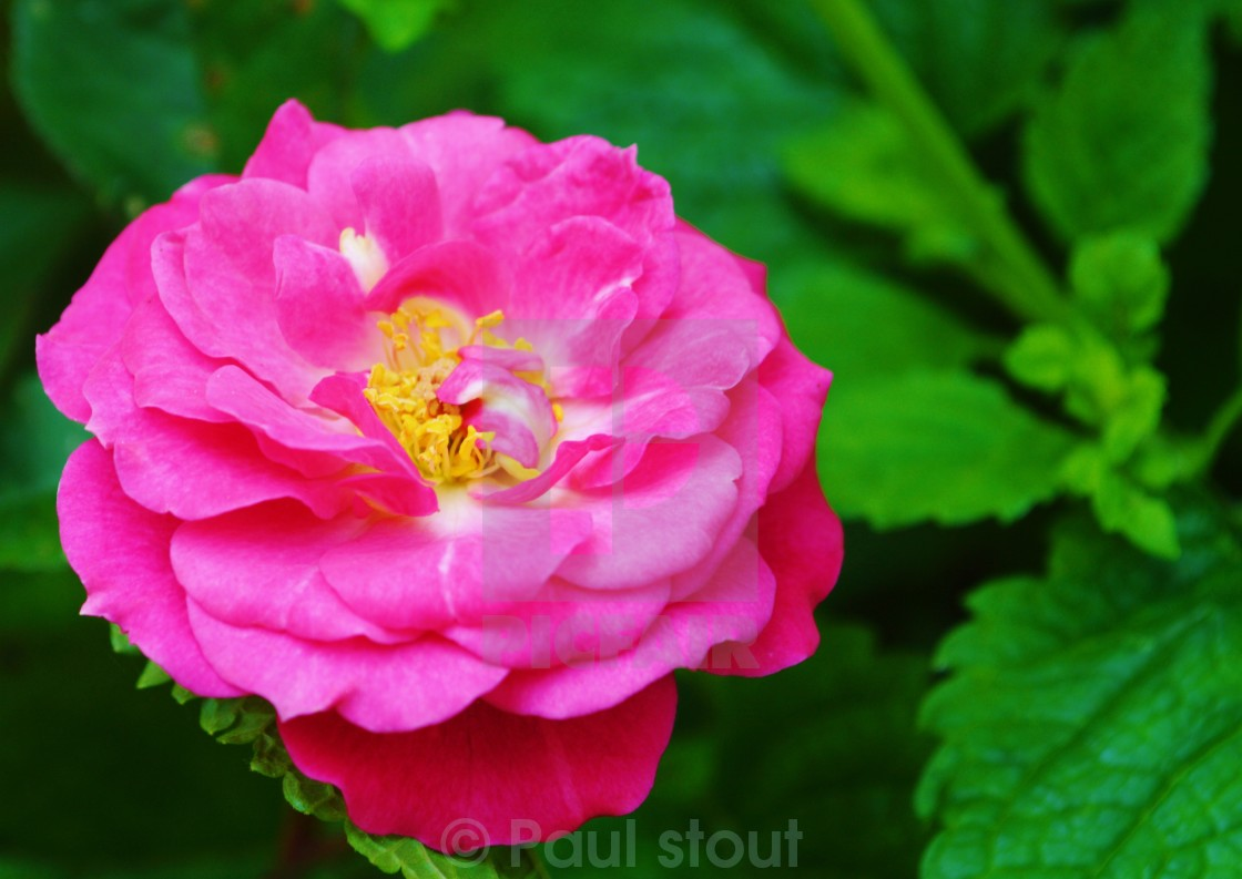 """Pink Rose."" stock image"