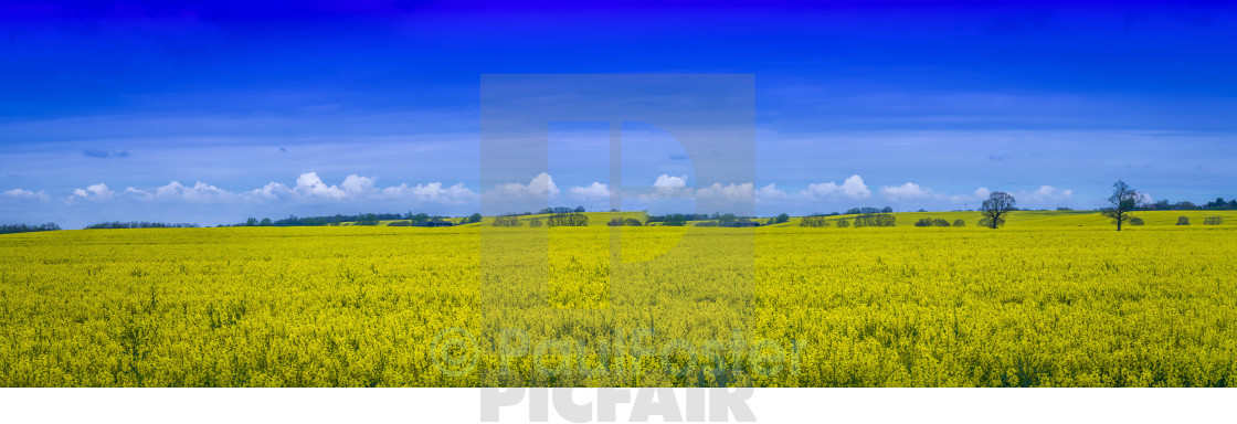 """rapeseed as far as you can see"" stock image"