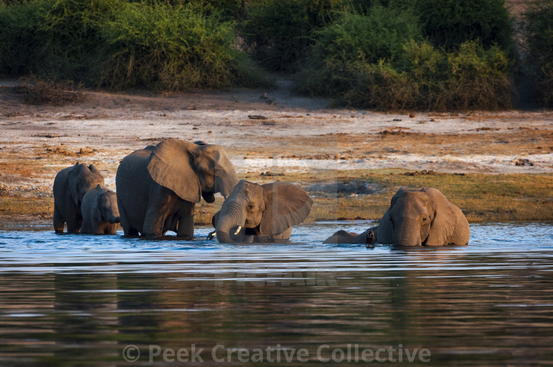 """Herd of elephants crossing the Chobe River in Chobe National Park, Botswana; Concept for travel in Africa and Safari"" stock image"