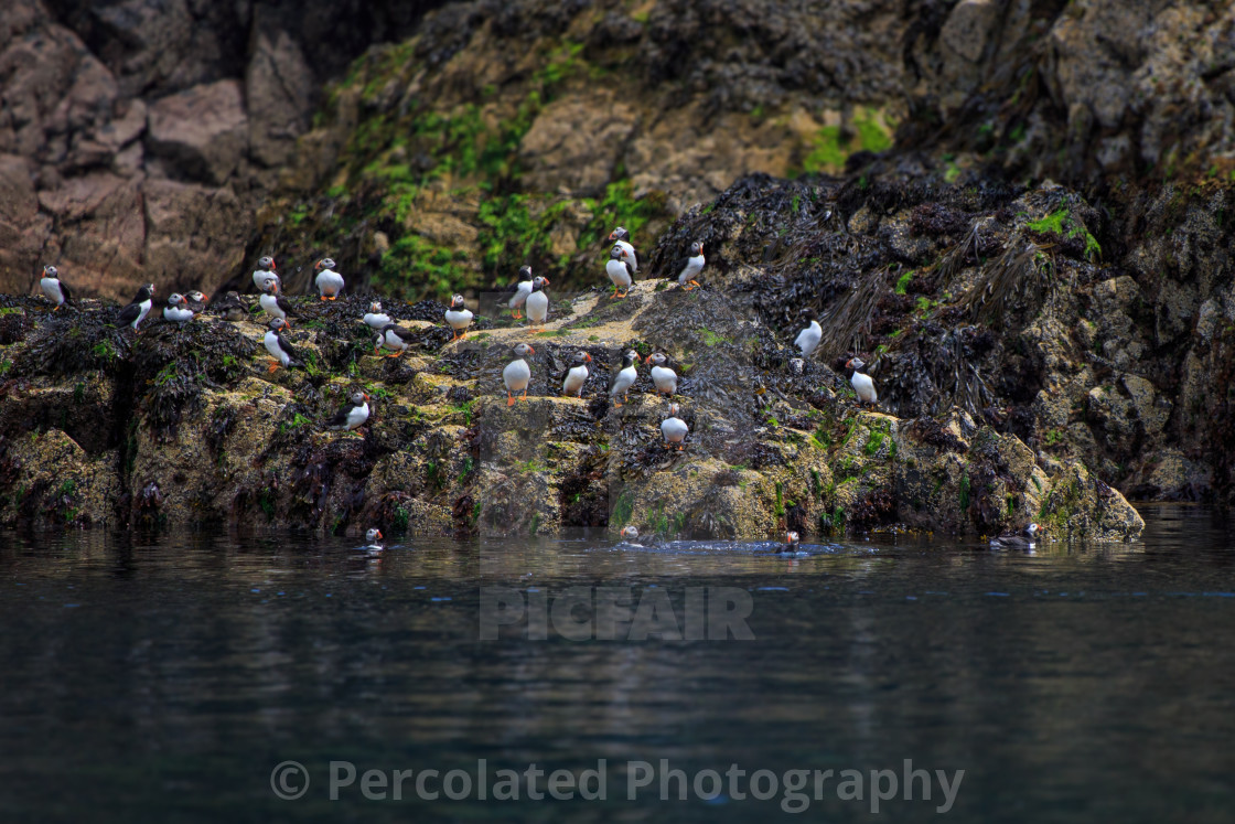 Group of Atlantic Puffins