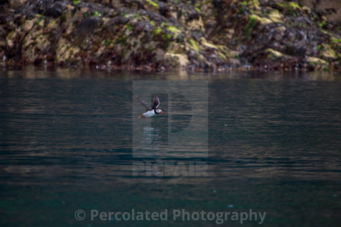 """Flying Atlantic Puffin"" stock image"