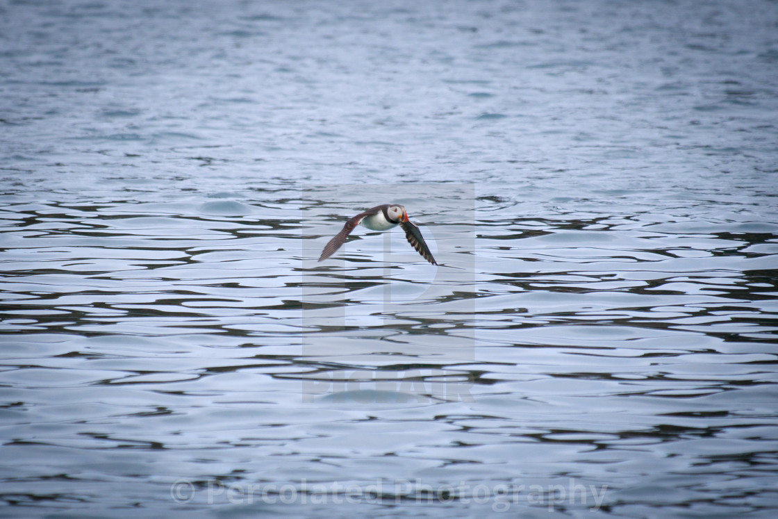 """Flying Puffin"" stock image"