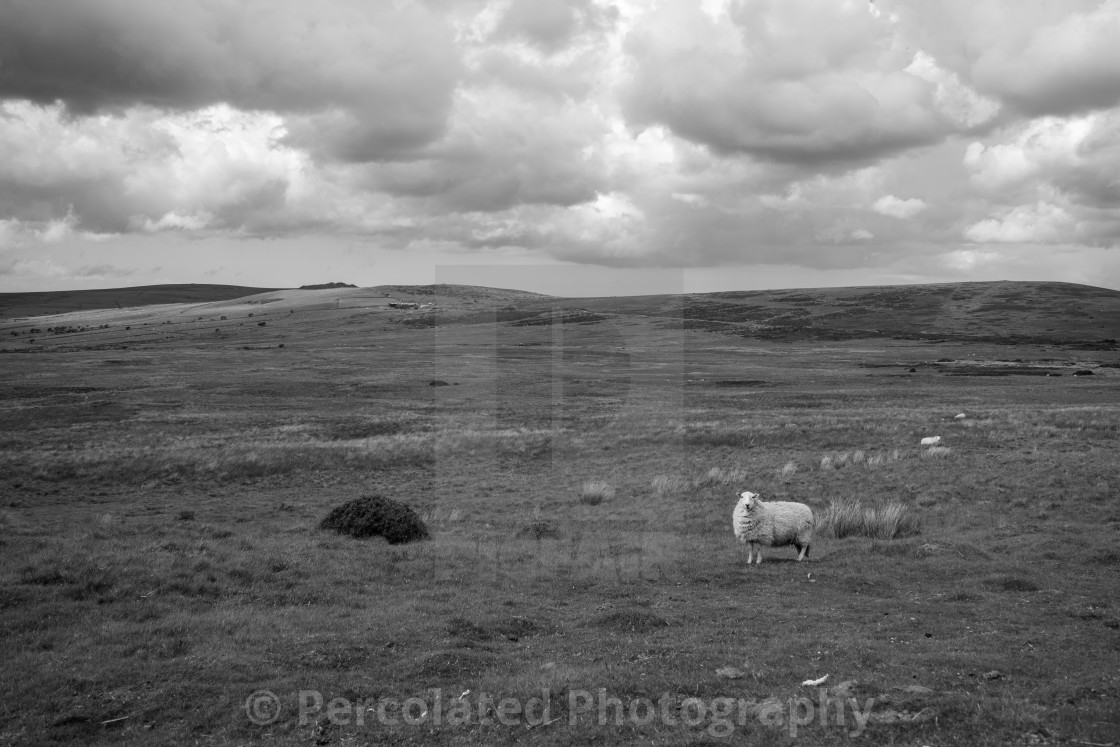 Preseli Mountain Sheep