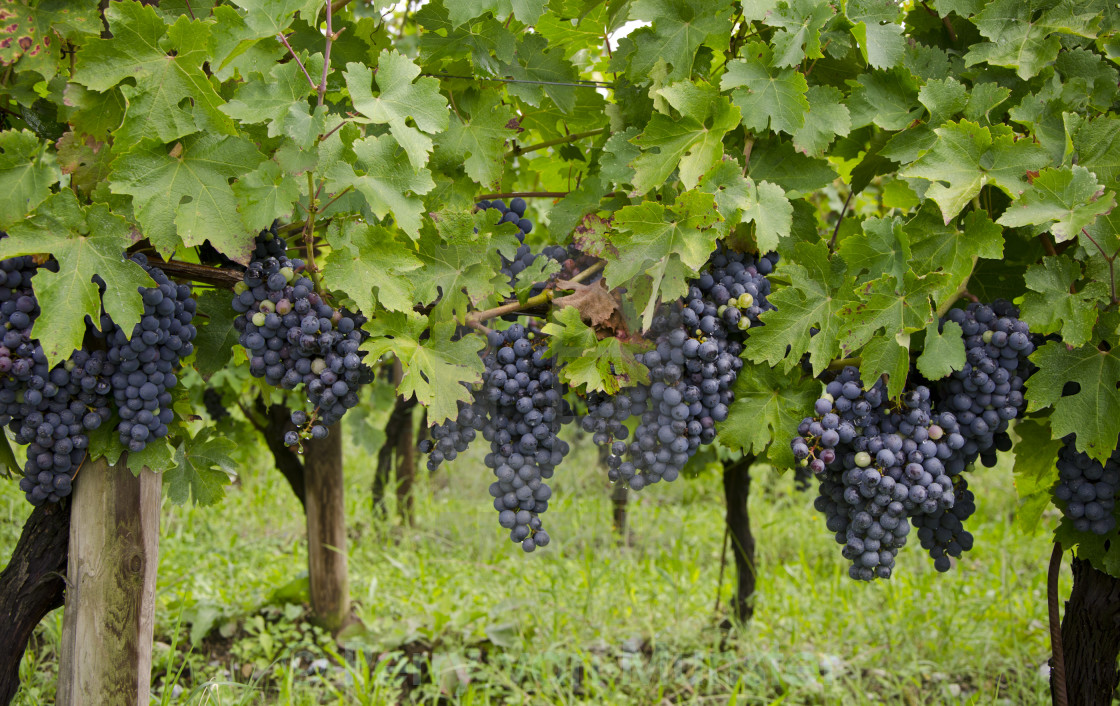 """Chardonnay grape clusters"" stock image"