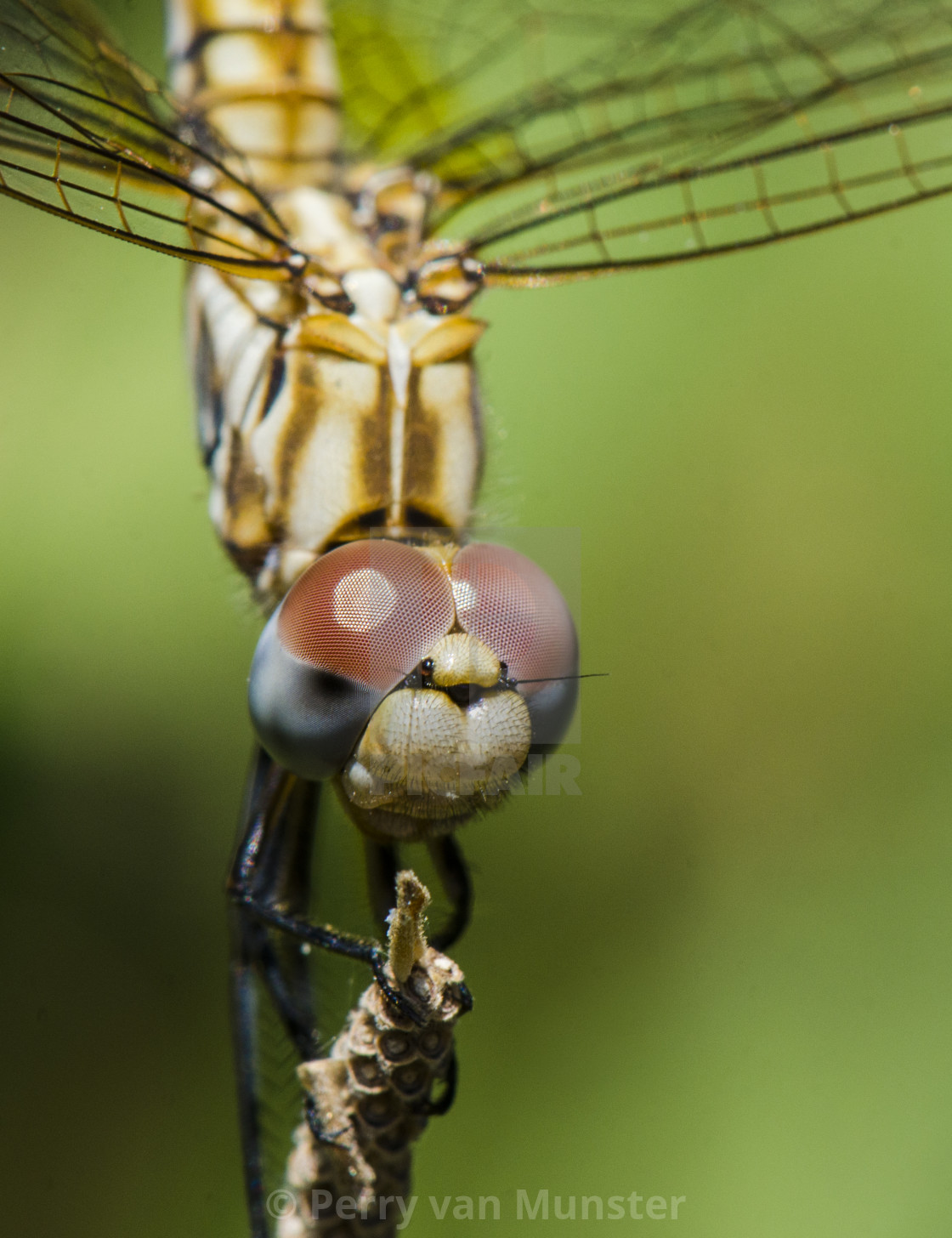 """Close-up. Violet dropwing, dragonfly, Trithemis annulata, Andalusia, Spain."" stock image"