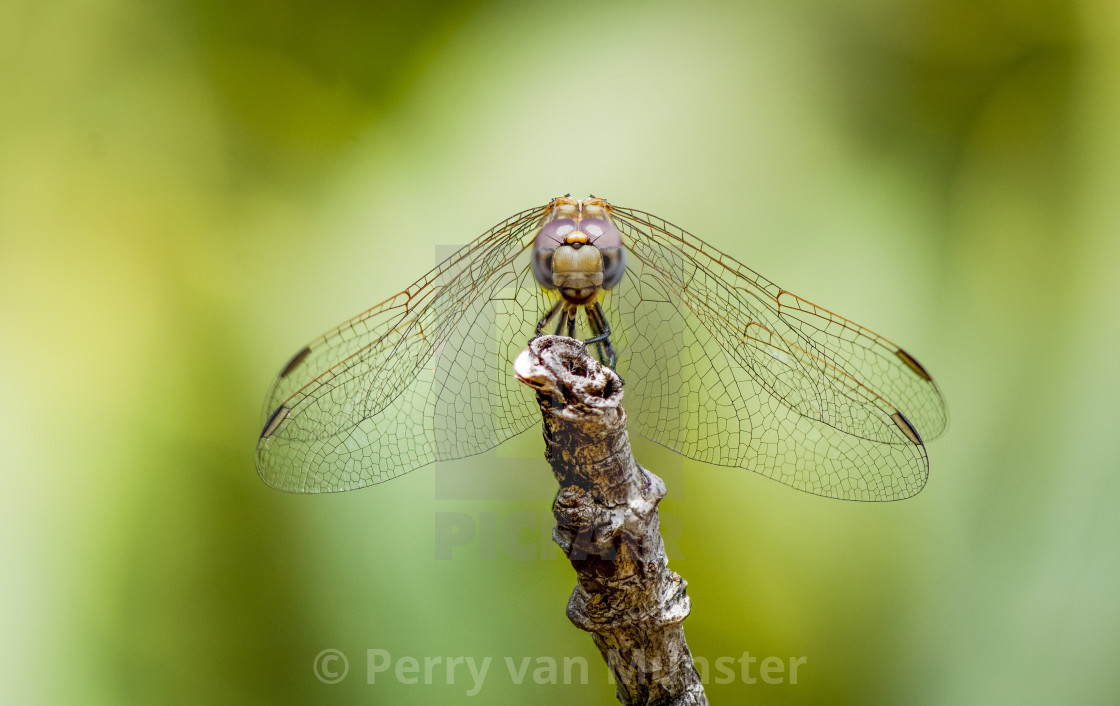 """Violet Dropwing (Trithemis annulata) female resting on a branch"" stock image"