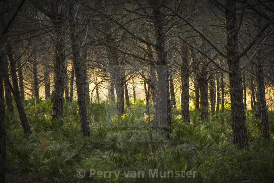 """Evening sunlight through trees in pine forest, Andalusia, Spain."" stock image"