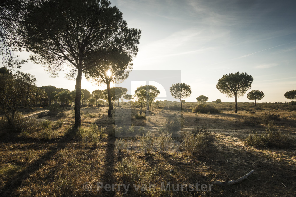 """Landscape of Stone pine (Pinus pinea) at sunset"" stock image"
