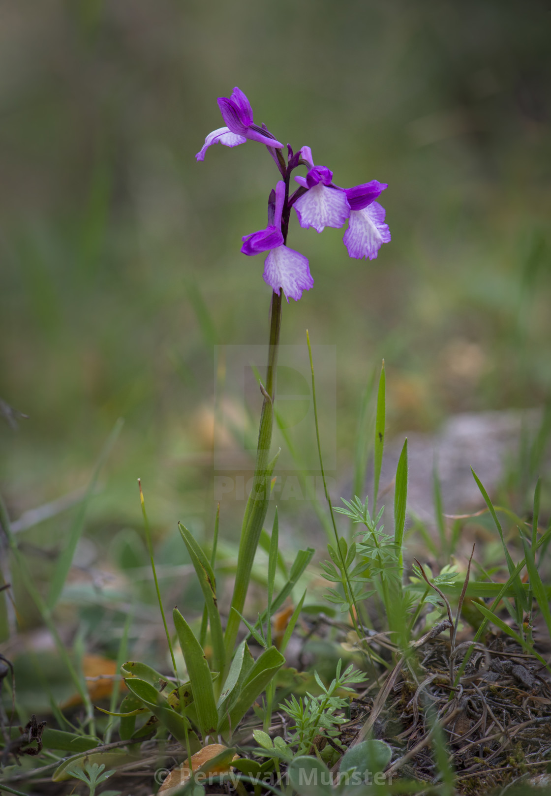 """Hybrid wild orchid"" stock image"