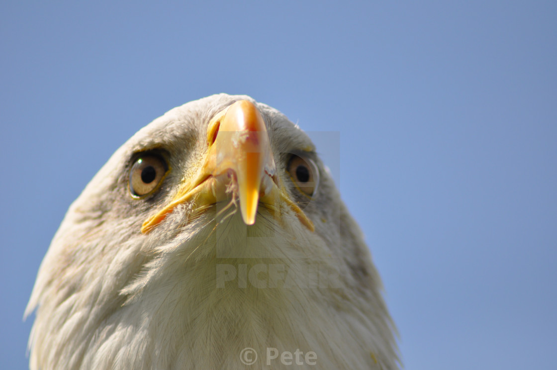 """Eagle waiting"" stock image"
