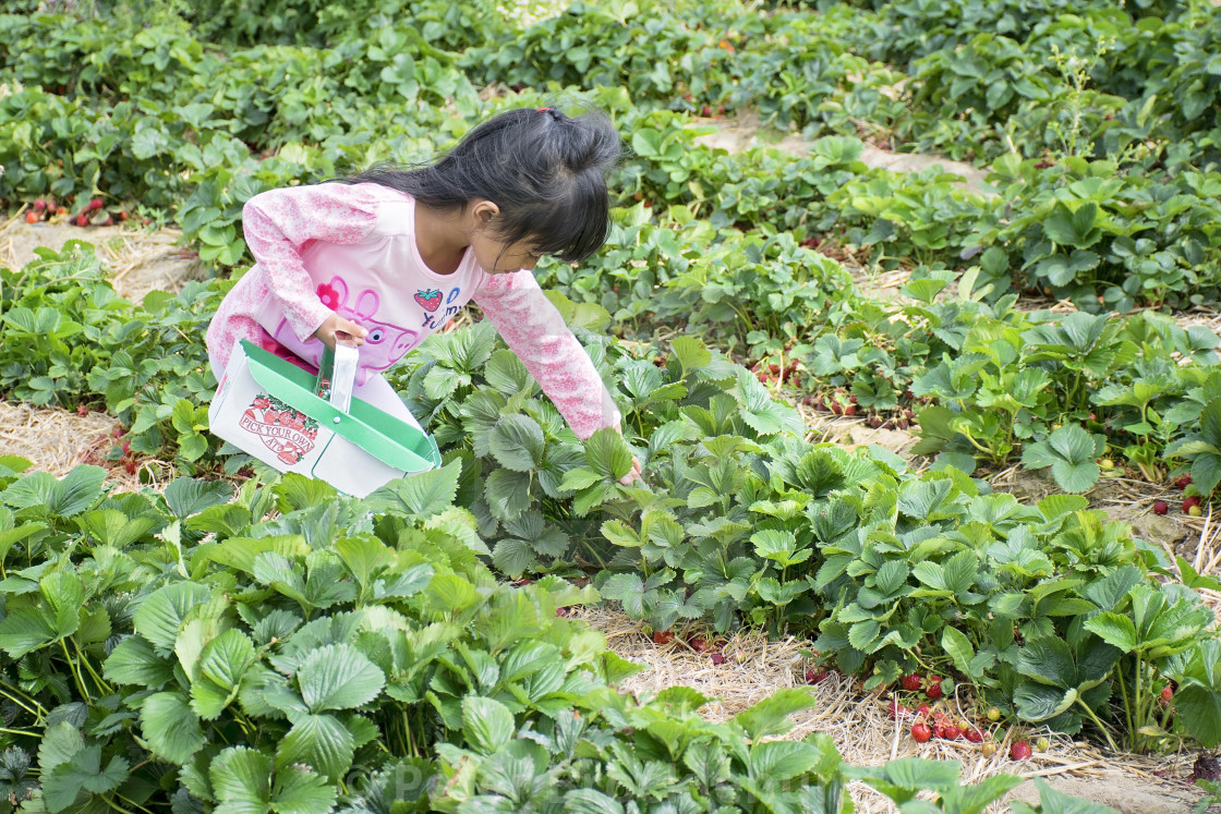 """""""Young girl strawberry picking"""" stock image"""