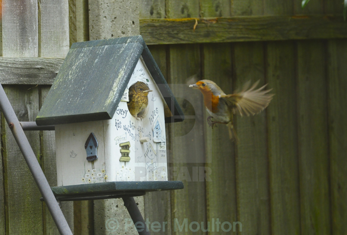 """""""Fledgling and Adult Robin"""" stock image"""