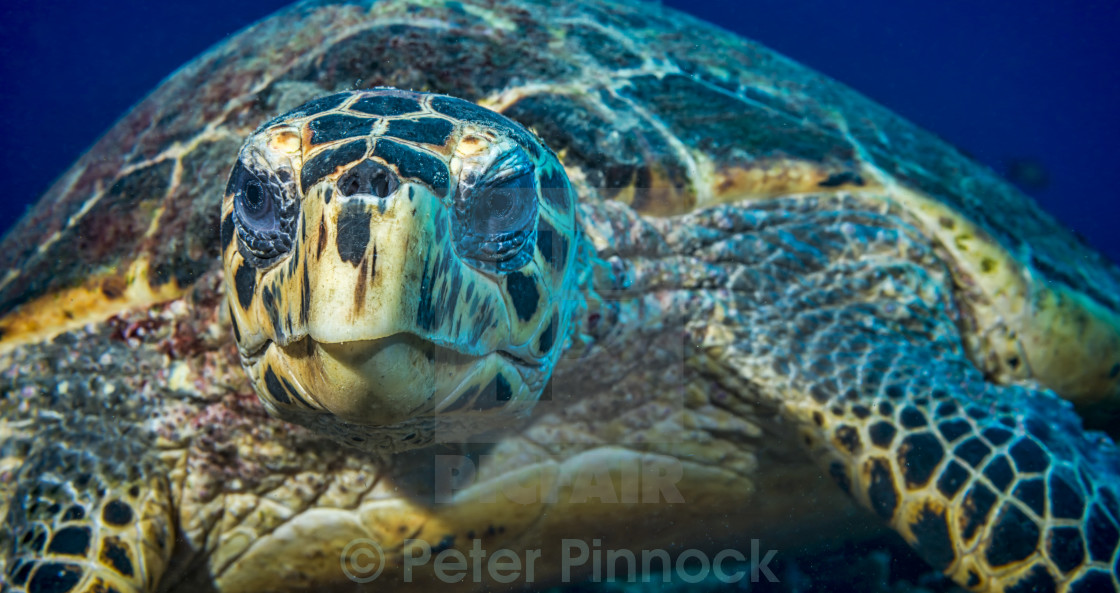 """Grumpy turtle"" stock image"