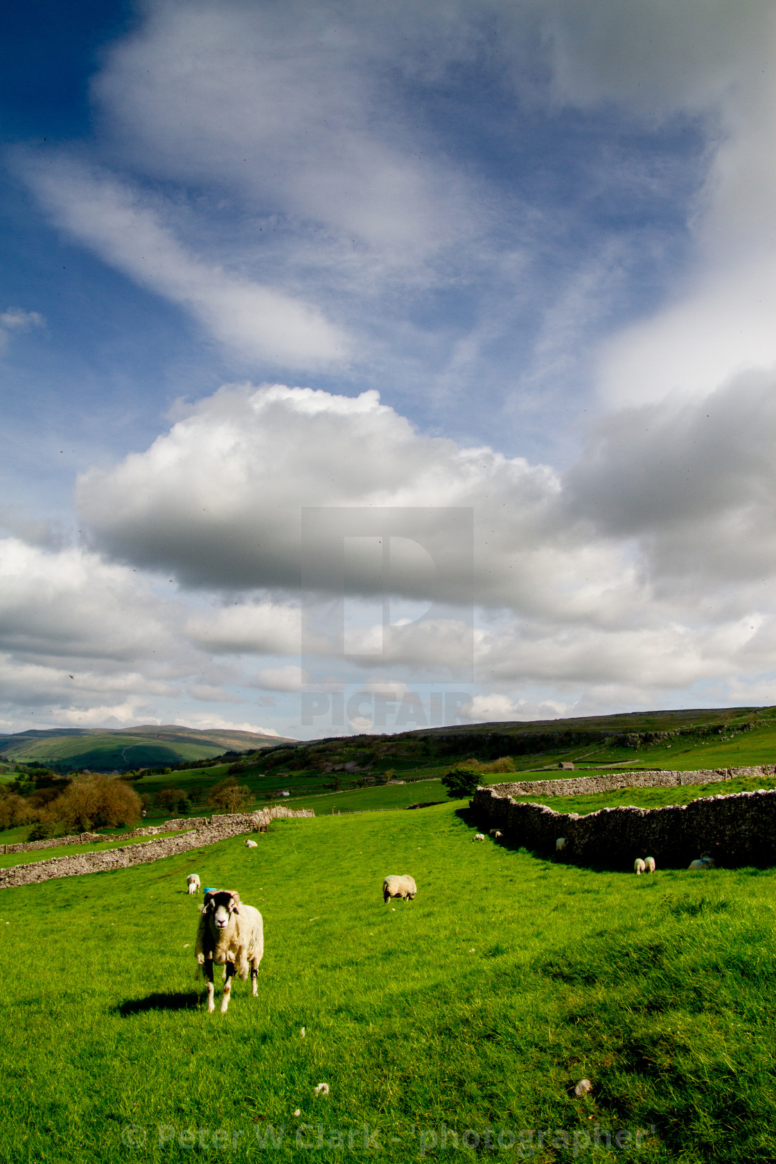 """""""Sheep in Yorkshire Dales"""" stock image"""