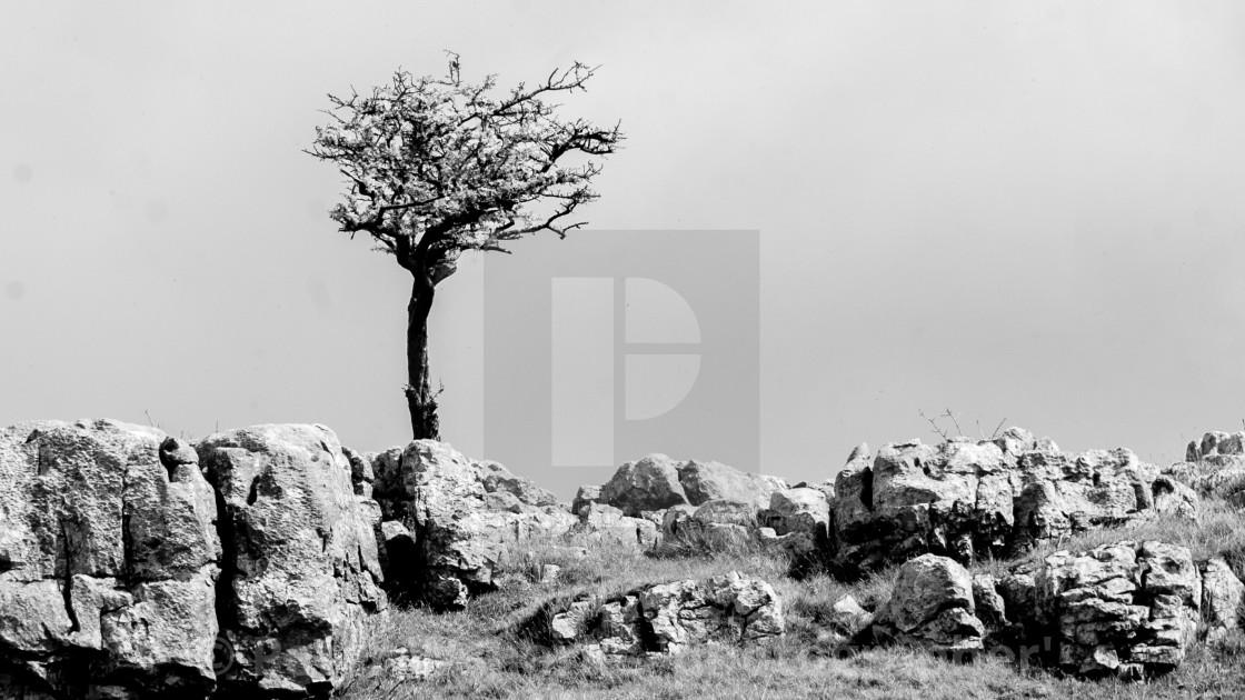 """Bare Tree on Limestone Scar above Conistone"" stock image"