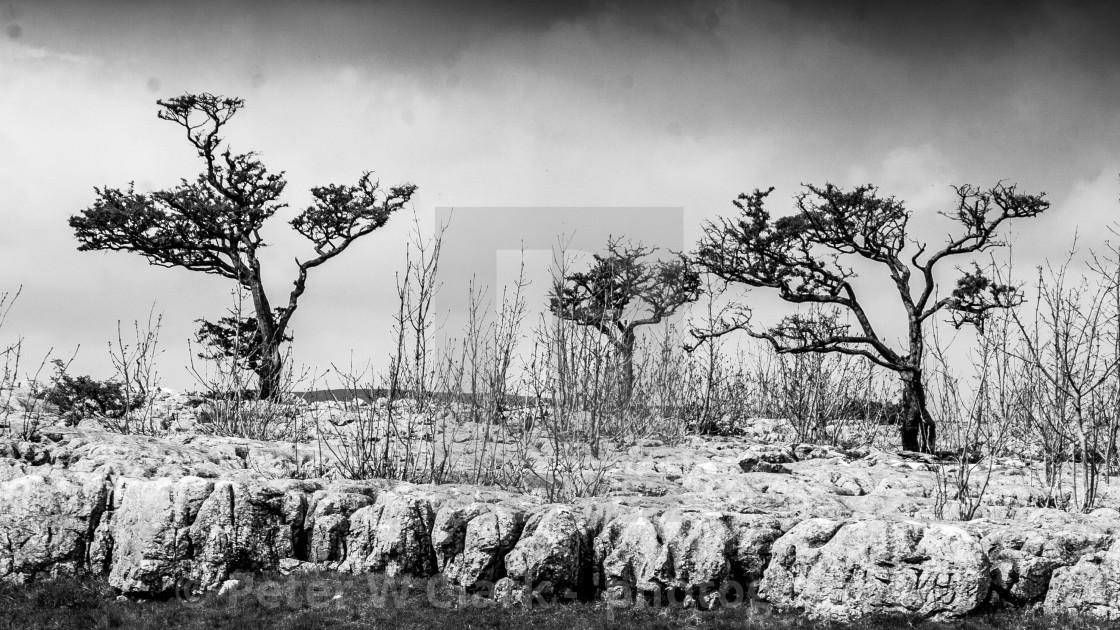 """Bare Trees on Limestone Scar above Conistone"" stock image"