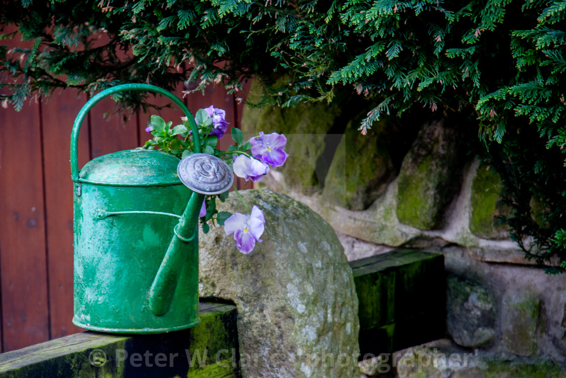 """Purple Pansy flowers in a Green Watering Can"" stock image"
