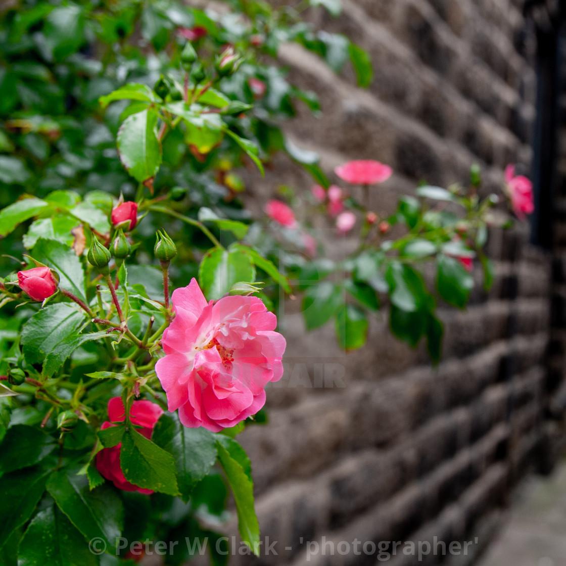 """Rambling Rose on Stone Wall"" stock image"
